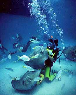Divers in Stingray City in Cayman Islands